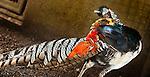 Lady Amherst's Pheasant (Chrysolophus amherstiae), Bali Bird Park