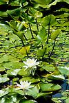 Water lilies floating on Gamlin Lake near Sagle, Idaho