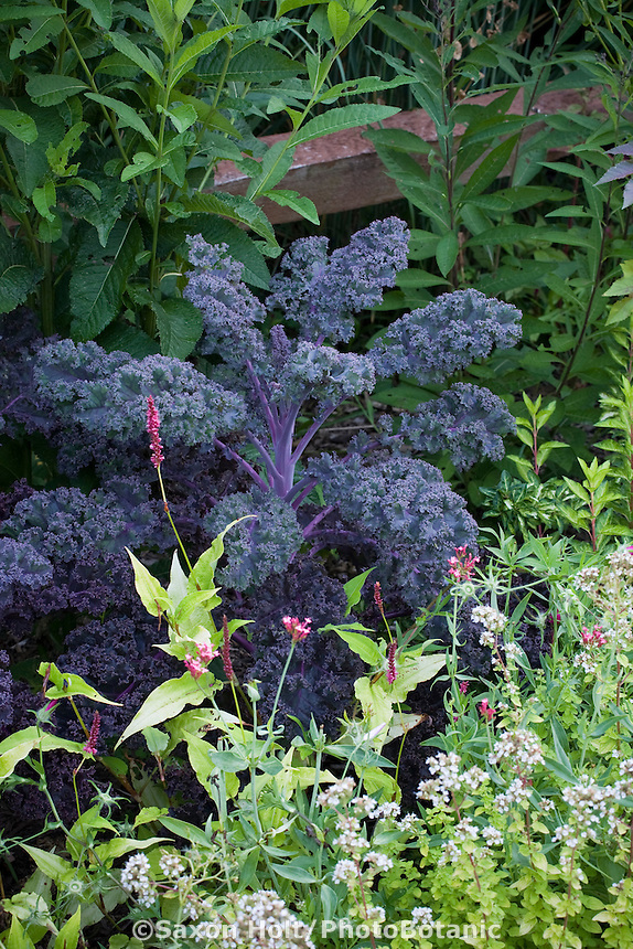 Purple foliage Kale (Brassica oleracea var. acephala) 'Redbor' edible leaf ornamental in organic garden bed