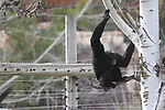 A Siamang gibbon is seen  climbing a tree at the Biblical Zoo in Jerusalem. Photo By : Emil Salman / JINI