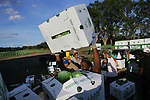 Marcus Calhoun stacks boxes of cabbage for shipping near the fields where it was cut at Baylor Farms in west Flagler County, Fla., Wednesday, Jan. 5, 2005.(Brian Myrick)