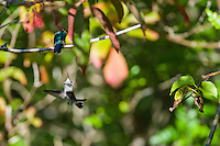 Courtship, aggression, or something else? An immature male (or another female) Bee Hummingbird (Mellisuga helenae) displays toward a perched female Bee Hummingbird. Cuba.