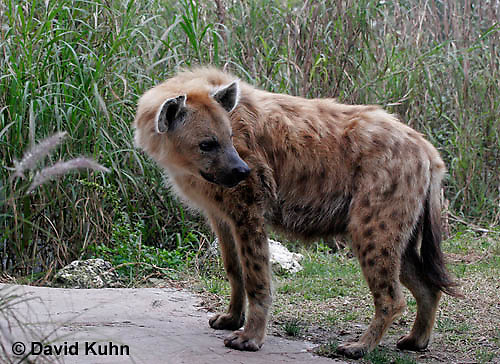 0213-08uu  Spotted Hyena, Laughing Hyena, Crocuta crocuta © David Kuhn/Dwight Kuhn Photography