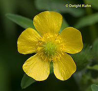 RA01-506z  Common buttercup, meadow buttercup, Cornus canadensis
