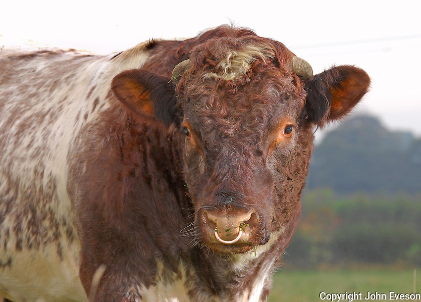 Gerald Turton, Upsall Shorthorns, Upsall Castle, Thirsk, North Yorkshire...Shorthorn bull Vortrekker of Upsall.