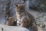 Bobcats males play at the living desert