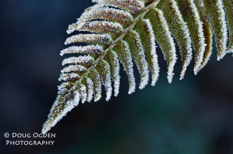 Ice crystals on the tip of a fern frond