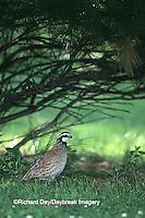 00849-010.20 Northern Bobwhite (Colinus virginianus) male Marion Co.   IL