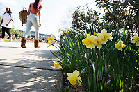 Daffodils near Drill Field with sidewalk and student pedestrians.<br />  (photo by Megan Bean / &copy; Mississippi State University)