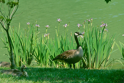 Canada Geese, Branta canadensis, family with growing goslings in the grass at lakeshore with blooming purpole irises. Midwest USA