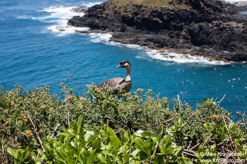 Nene goose, Kilauea Point <br /> National Wildlife Refuge, Kauai