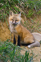 Red Fox Kit sitting on the ground outside its den