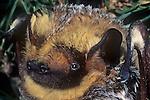 A Hoary Bat (Lasiurus cinereus). Burro Mountains, Southwest New Mexico, USA