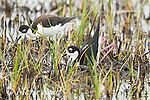 Black-necked Stilt (Himantopus mexicanus) pair building nest in shallow wetland, male in foreground in squatting and pushing backwards with his feet/legs  to form a nest scrape in vegetation the pair has gathered, Bear River Migratory Bird Refuge, Utah, USA