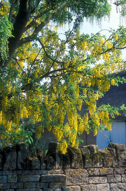 Laburnum x watereri spring flowering tree Vossii in flower next to stone wall near house