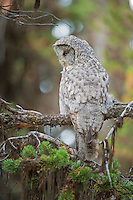 Great Gray Owl, Yellowstone NP