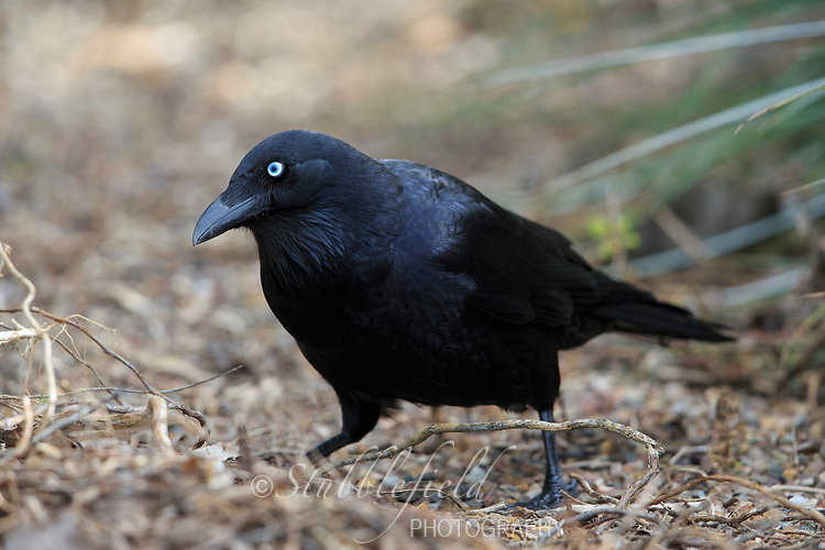 Little Raven (Corvus mellori) foraging in Rymill Park in Adelaide, South Australia.