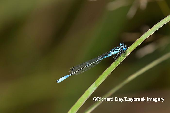 06101-00115 Azure Bluet (Enallagma aspersum) male in wetland Marion Co. IL
