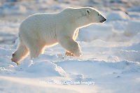 01874-11915 Polar Bear (Ursus maritimus) in snow, Churchill Wildlife Management Area, Churchill, MB Canada