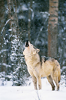 Gray wolf or Timber wolf howling