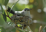 Costa's hummingbird on nest,  FB-S155