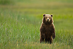 A brown bear cub stands upright day in a coastal meadow in Lake Clark National Park, Alaska, June 24,  2008.  This is the cub's second summer; he will likely spend one more year with his mother.  Photo by Gus Curtis.