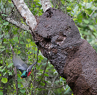 Ecuadorian Trogon; Trogon mesurus; flying from its nest in termite colony; Ecuador, Prov. Loja, Jorupe Biological Reserve