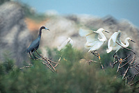 Little Blue Heron and Snowy egrets on Appledore Island, Isles of Shoals, near the northern limit of their range..Photograph by Peter E. Randall