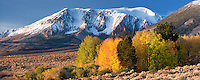 Aspen trees with fall color. Eastern Sierra Nevada Mountains. California