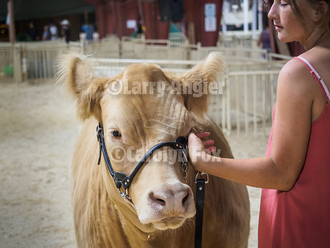 Late night practice showing a steer. The 79th Amador County Fair, Plymouth, Calif.<br /> <br /> <br /> #AmadorCountyFair, #PlymouthCalifornia,<br /> #TourAmador, #VisitAmador,