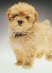 Toy poodle dog portrait.