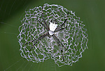 Ergiope spider, Argiope savigyni, on web with stabilimentum, Costa Rica, tropical jungle.Central America....