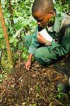 Anti-poaching snare removal team member, Godfrey Nyesiga, removing illegally set foot snare, Kibale National Park, western Uganda