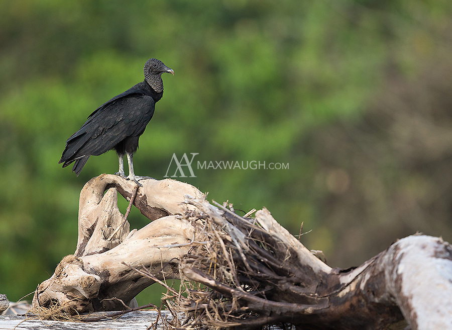 A Black vulture on the beaches of Corcovado.