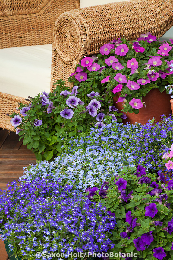 Patio with containers of blue Lobelia and Petunia flowers from Sygenta