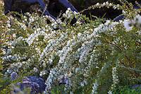 Grevillea vestita (Hairy Grevillea, Spider Flower) University of California Santa Cruz Botanic Garden