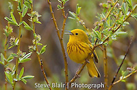 Yellow warbler. I love this.  My only suggestion would be to crop it just a little bit more to the right as the warbler is close to center.