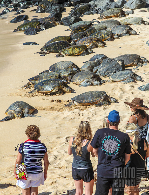 Beachgoers gaze at Hawaiian green sea turtles resting at Ho'okipa Beach, Maui.