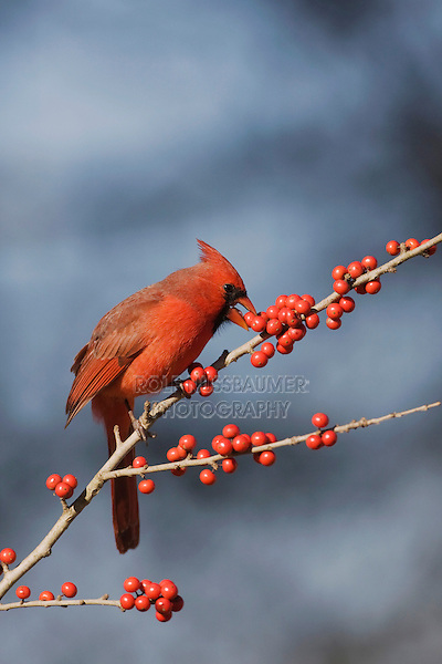 Northern Cardinal (Cardinalis cardinalis), male eating Possum Haw Holly (Ilex decidua) berries, Bandera, Hill Country, Texas, USA