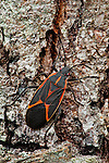 Eastern Box Elder bug.