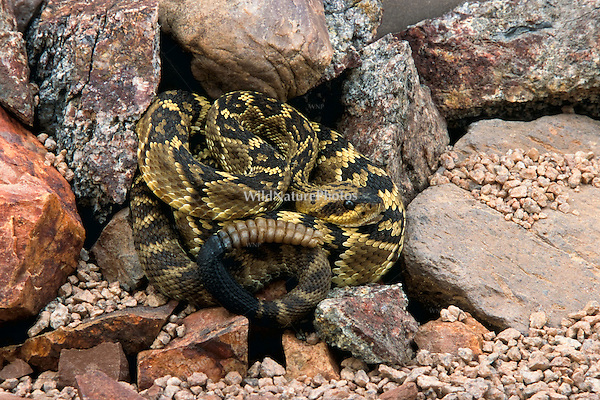 A Black-tailed Rattlesnake (Crotalus molossus) coiled and waiting for prey (Arizona).