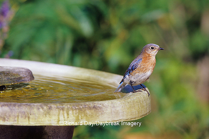 01377-15807 Eastern Bluebird (Sialia sialis) female in bird bath in flower garden, Marion Co. IL