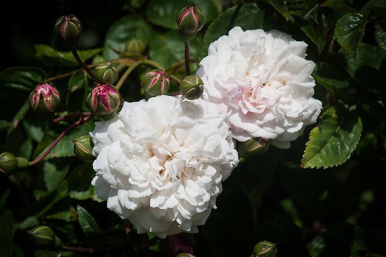 Rosa 'Félicité-Perpétue' or 'Félicité-et-Perpétue'. A creamy white rambling rose. Bred by Jacques, 1827.