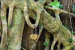 Tree roots in Monkey forest of Ubud, Bali, Indonesia.