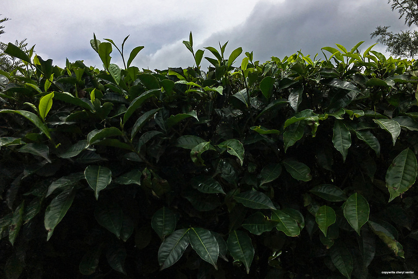 New tea leaves sprout up on a bush at a tea plantation in Munnar, India  June 11, 2017 (Cellphone Photo by Cheryl Senter) Freshly steeped milky tea is served to tourists who have completed the tour of the Kolukkumalai Tea Estate in Munnar, Kerala, India, June 13, 2017. It's about an hour ride by jeep up a bumpy steep winding road to reach the Kolukkumalai Tea Estate.  The estate, built in the 1930's, sits high on a ridge above the plains of Tamilnadu. At about 8,000 feet above sea level, this tea estate is the highest in the world. Kolukkumalai Tea Estate still uses the plants original machinery and processes the tea using traditional methods.  (Photo by Cheryl Senter)