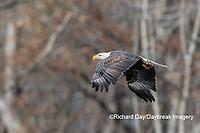 00807-03712 Bald Eagle (Haliaeetus lecocephalus) in flight with fish Clinton Co. IL