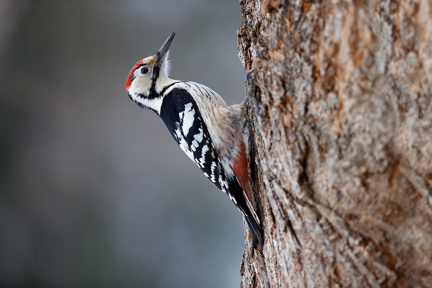 White-backed Woodpecker (Dendrocopos leucotos), Bieszczady National Park, Poland
