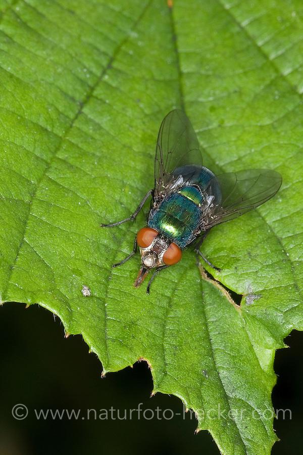 Goldfliege, Gold-Fliege, Weibchen, Lucilia spec., greenbottle, green bottle fly, Schmeißfliegen, Calliphoridae