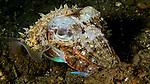 Cuttlefish, Banda Sea, Indonesia