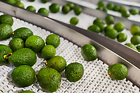 Avocados are seen moving along a conveyor belt during the packing process at a processing plant in Sonsón, Antioquia department, Colombia, 22 October 2019. Over the past decade, the Colombian avocado industry has experienced massive growth, both as a result of general economic development in Colombia, and the increased global demand for so-called superfood products. The geographical and climate conditions in Antioquia (high altitude, no seasonal extremes, high precipitation rate) allow two harvest windows of the Hass avocado variety across the year. Although the majority of the Colombian avocado exports are destined towards Europe now, Colombia aspires to become one of the major avocado suppliers to the U.S. market in the near future.